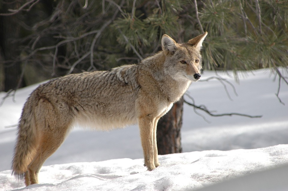 coyote 1901990 960 720 - 3 interesting traits that are common to all Canidae family members