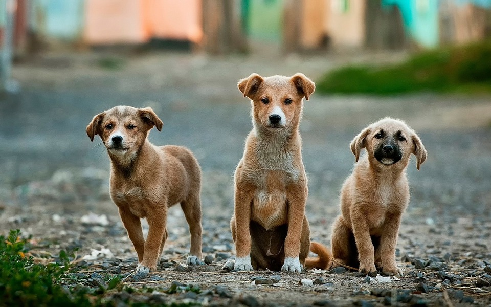 dogs 984015 960 720 - 3 solutions to solving the problem of stray dogs in the US